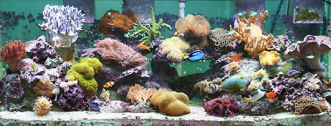 soft corals for sale tank raised aquacultured soft corals