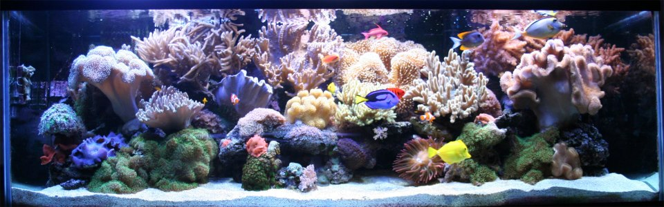 Tips for beginners aquacorals saltwater reef aquariums for Saltwater fish tanks for beginners