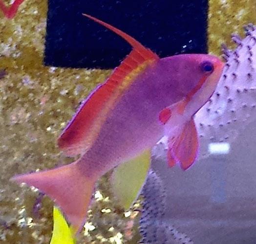 Orange lyretail anthias reef safe anthias fish for sale for Reef fish for sale