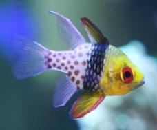 Pj Cardinal Reef Safe Cardinal Fish For Sale At Aquacorals