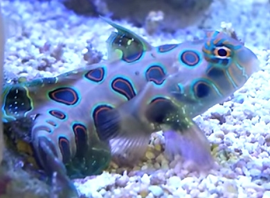 Green spotted mandarin dragonet reef safe green spotted for Reef fish for sale