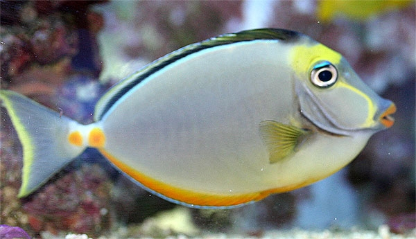 Naso Tang Reef Safe Tang Fish For Sale At Aquacorals