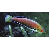 wrasse-rose-bellyt